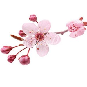 Seifenduft-Öl Kirschblüte