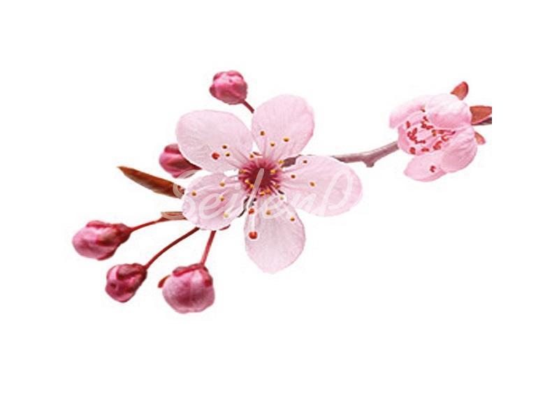 Seifenduft-Öl Kirschblüte » 4,95€ » SeifenPlanet-Onlineshop