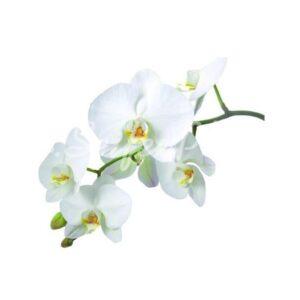Seifenduft-Öl Orchidee