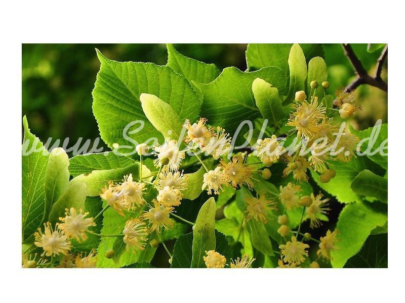 Duftoel Lindenblüten » 3,05€ » SeifenPlanet-Onlineshop