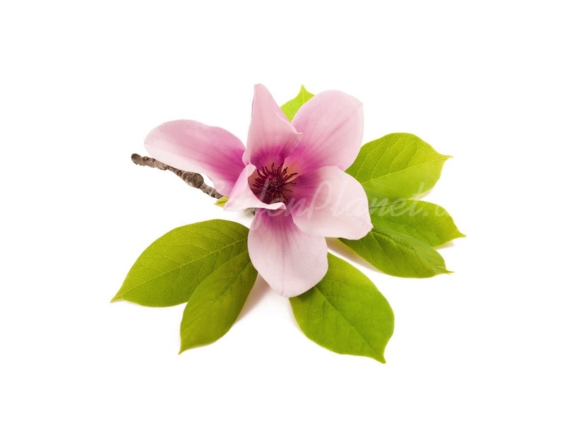 Parfümöl Magnolie 10 ml » 2,85€ » SeifenPlanet-Onlineshop